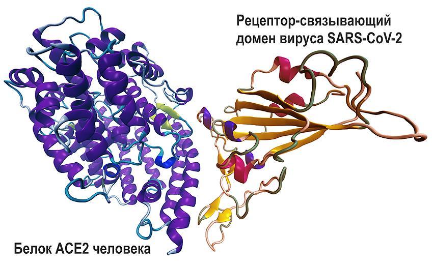 Моделирование взаимодействия белка человека ACE2 с рецепторо-связывающим доменом вируса SARS-CoV-2